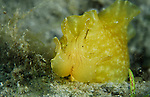 Sea Hare, yellow ,  Seahare, Geographic , Siphonata geographica, aplysidae, Underwater Marine life Behavior, Blue Heron Bridge, Lake Worth Inlet, Riviera, Florida, USA, Intra Coastal Waterway, North Atlantic Ocean.1-4-9-3