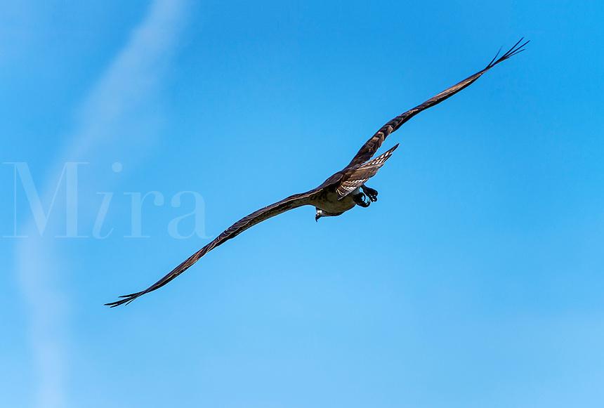 Osprey lin flight, Delaware, USA