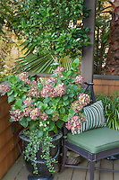 Hydrangea flowering in container in small space California urban townhome patio garden