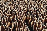 King penguin chicks, South Georgia Island (Digital composite)