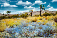 Wildflowers and Joshua Trees. Joshua Tree National Park, California