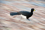 Male Bare-faced Curassow (Crax fasciolata) (Family  Cracidae) running along bank of the Piquiri River, Pantanal, Brasil.
