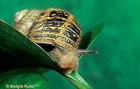 1Y08-057z   Land Snail - west coast snail - Helix aspersa