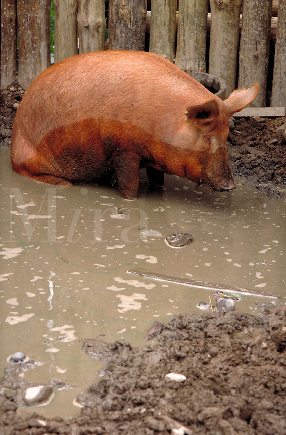 A pig wallows in the mud. Environment, meat.