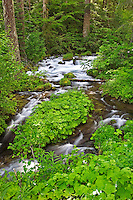 Roaring River in early summer. Oregon