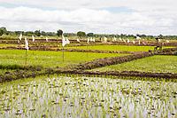 Tanzania.  Mto wa Mbu.  Newly-planted Seedlings in Rice Paddy.