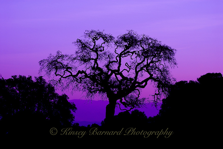"""""""ROBLE REY""""<br /> <br /> The setting sun cast a purple hue on this beautiful old oak standing tall in Harvey Bear Park near Gilroy, California."""