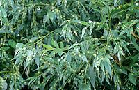 Gallen van Bladwesp (Pontania proxima) op schietwilg