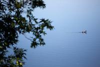 Ducks swim in the Missouri River in Great Falls, Montana, USA.