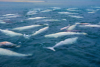 beluga whale, or white whale, Delphinapterus leucas, in summer, large pod with calves, congregating in the protected shallow waters of Cunningham Inlet, Nunavut, Canada, Arctic Ocean