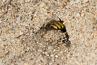 Kreiselwespe, Grabwespe, an ihrem Erdbau im Sand, gräbt Sand aus der Höhle, Weibchen, Bembix oculata, sand wasp, sand wasps, female