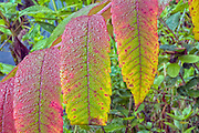 Staghorn Sumac leaves (Rhus typhina)  during the autumn months in New England.