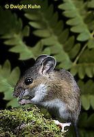 MU14-038b  Deer Mouse - Peromyscus maniculatus