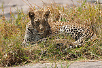 A leopard rests on a patch of grass in Maasai Mara in Kenya.