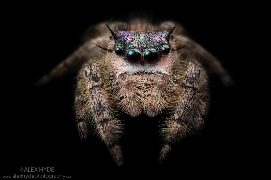Canopy Jumping Spider female {Phidippus otiosus}, captive, orginating from North America. Photographed on black velvet. Size < 1cm website