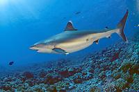 A pregnant Silvertip shark (Carcharhinus albimarginatus) in Avatoru Pass, Rangiroa.