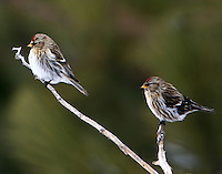 Female common redpolls
