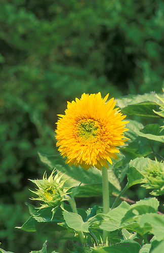 """The dwarf sunflower """"teddy bear"""" with buds and luxurious growth giving a sense of motion"""