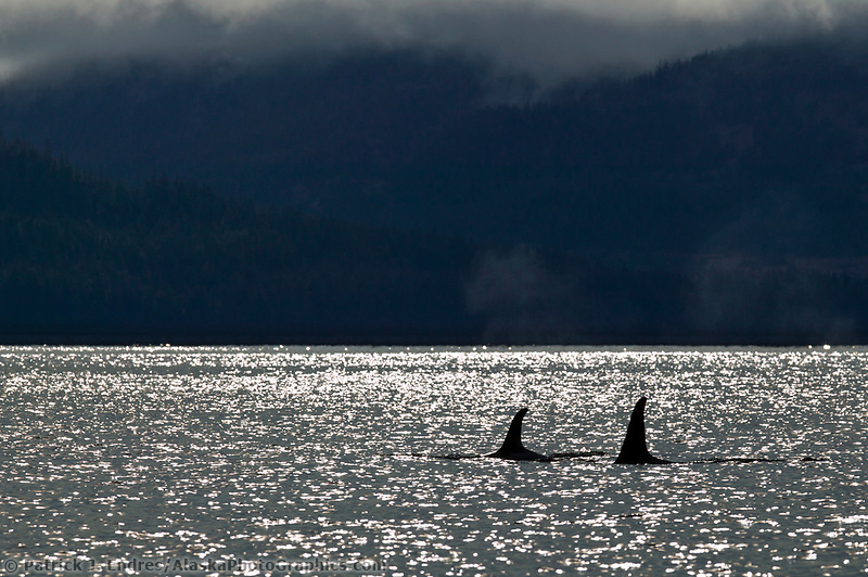 Orcas or Killer Whales, Prince William Sound, Alaska. The typical family pod can reach a maximum of around fifty individuals, but most often numbers between 3-25.