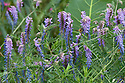 Vicia cracca, also known as Tufted vetch, end June.