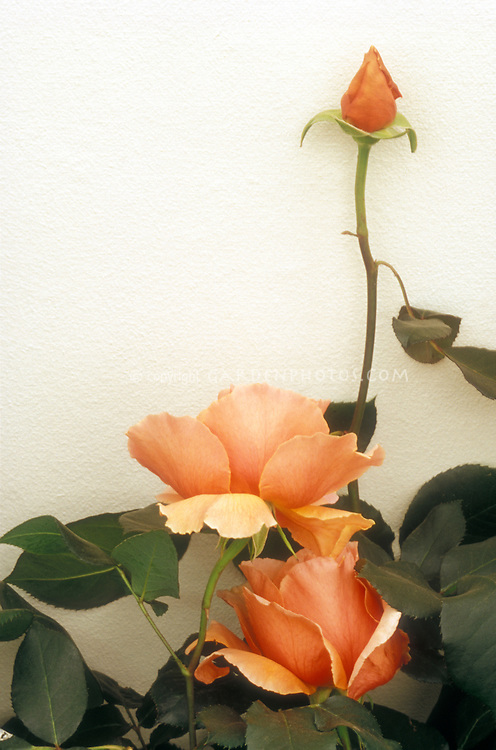 Rose 'Just Joey' against cream wall, with rosebud & rose flowers in apricot color, with foliage