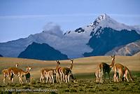 Vicuñas (Vicugna vicugna) in the Central Andean Puna, a high-elevation montane ichu grassland, Ulla Ulla Biosphere Reserve, Apolobamba Mountain Range, La Paz, Bolivia.