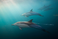 long-beaked common dolphin, Delphinus capensis, Wild Coast, South Africa, Indian Ocean