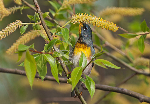 """Northern Parula (Parula americana) male eats pollen from willow catkins along Lake Erie shoreline near Canada and USA border during annual spring migration from Caribbean and Central American wintering areas to summer breeding grounds in southeastern Canada and northeastern USA, where it nests primarily in hanging """"beard moss"""" or Usnea lichen."""