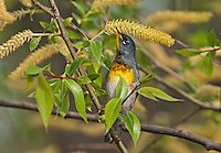 "Northern Parula (Parula americana) male eats pollen from willow catkins along Lake Erie shoreline near Canada and USA border during annual spring migration from Caribbean and Central American wintering areas to summer breeding grounds in southeastern Canada and northeastern USA, where it nests primarily in hanging ""beard moss"" or Usnea lichen."