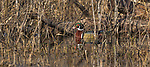 Drake and hen wood ducks in a northern wetland.  The female is well-hidden within the brush.