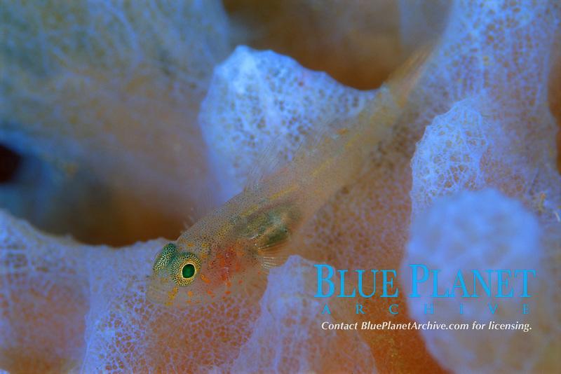 Rusty Goby?, Priolepis hipoliti, Saba, Netherlands Antilles, Caribbean Sea, Atlantic, Atlantic