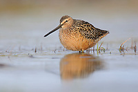 Adult Long-billed Dowitcher (Limnodromus scolopaceus) in breeding plumage. Seward Peninsula, Alaska. May.