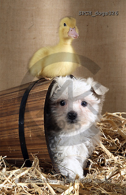 Xavier, ANIMALS, dogs, photos(SPCHdogs326,#A#) Hunde, perros
