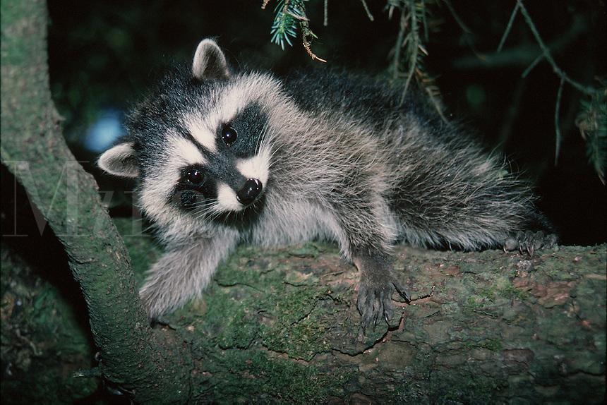 A young raccoon (Procyon lotor) clings to a tree. Washington.