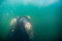 North Atlantic right whale, Eubalaena glacialis, endangered species, Bay of Fundy, Canada, North Atlantic Ocean