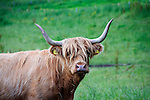 A iconic Highland Cow on the way to Oban!