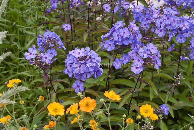 Phlox paniculata 'Blue Paradise', Geum 'Totally Tangerine', blue and orange color combination