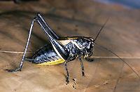 Alpen-Strauchschrecke, Männchen, Pholidoptera aptera, Thamnotrizon apterus, Alpine dark bushcricket, male