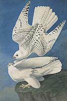 Falco rusticolus, White Gyrfalcons by John James Audubon. Gyrfalcon, Falco rusticolus, birds, 1827 - 1838