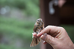 Lincoln sparrow banded at Crex Meadows