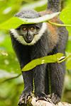 L'hoest's Guenon (Cercopithecus lhoesti) female in tree, Bigodi Wetland Sanctuary, Magombe Swamp, western Uganda