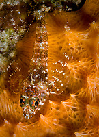 Saddled blenny, Malacoctenus triangulatus, on orange sponge, Bonaire, Netherland Antilles, Caribbean Sea, Atlantic Ocean