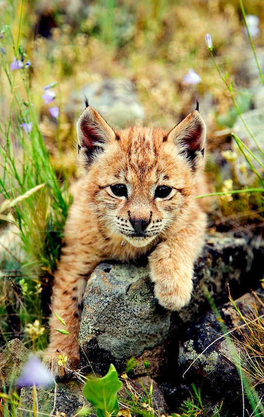 Lynx kitten resting on rock, with bluebells
