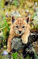 Lynx kitten resting on rock, with bluebells