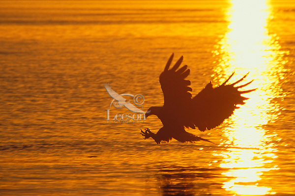 Bald Eagle fishing.  Pacific Northwest.  Sunset.