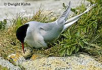 MC58-001z  Arctic Tern - adult at nest, incubating - Machias Seal Island, Bay of Fundy - Sterna paradisaea