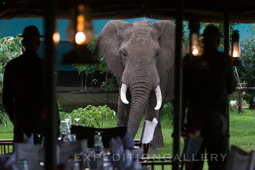 Bull African elephant staring at men in a dining tent at a camp in the Masai Mara National Reserve, Kenya.