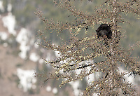 This young black bear was looking for a safe place to nap high in a tree.