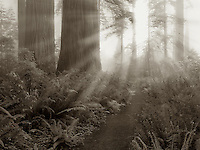 Redwood trees and path in Lady Bird Johnson Grove. Redwood National and State Parks, California