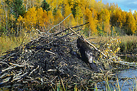 North American Beaver (Castor canadensis) working on lodge.  Fall..